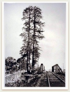 In this 1875 photograph, the twin-trunk el Palo Alto is visible immediately downstream from the single-track railroad bridge, from the San Mateo County side of San Francisquito Creek. Image 053-005. From the Guy Miller Archives, Palo Alto Historical Association.