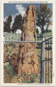 This petrified redwood is a remnant of the wide geographic distribution during the time of the dinosaurs. This tree still stands today in Yellowstone National Park near Tower Junction. Postcard from the collection of Evelyn Rose.