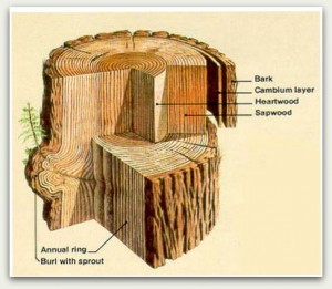 This drawing of a crosscut shows the layers of bark and wood of the coast redwood, including the all important burl. From Geology Field Notes, Redwood National Park.